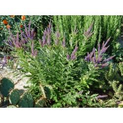 Amorpha canescens, Gehölze vom Yuccashop -