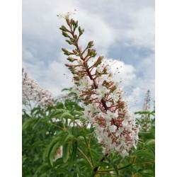 Aesculus californica, Gehölze vom Yuccashop -