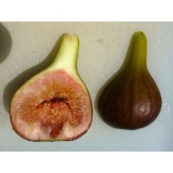 Ficus carica ''Keller 1'', Fruchtgehölze im Yuccashop kaufen -