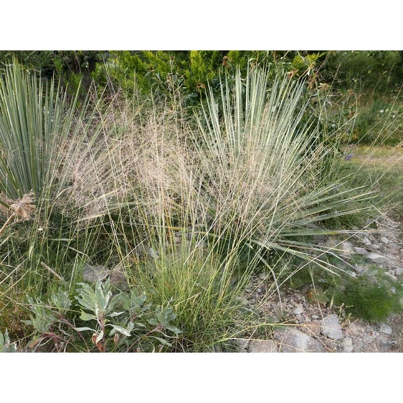 Sporobolus airoides, Gräser im Yuccashop kaufen -