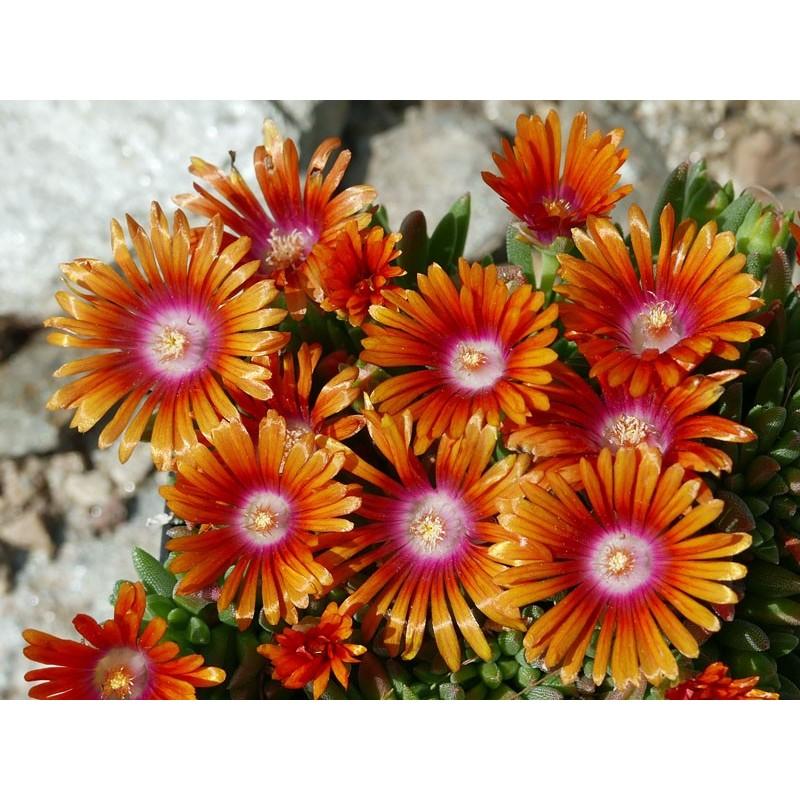Delosperma ''Merida'', Mittagsblumen vom Yuccashop kaufen -