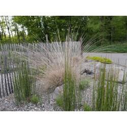 Muhlenbergia rigens, Gräser im Yuccashop kaufen -