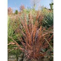 Schizachyrium scoparium 'Prairie Blues', im Yuccashop kaufen -