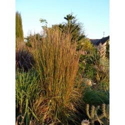 Schizachyrium scoparium, Gräser im Yuccashop kaufen -