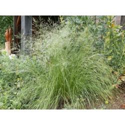 Eragrostis curvula, Gräser im Yuccashop kaufen -