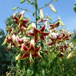 Lilium 'Sheherazade', Lilien im Yuccashop kaufen -