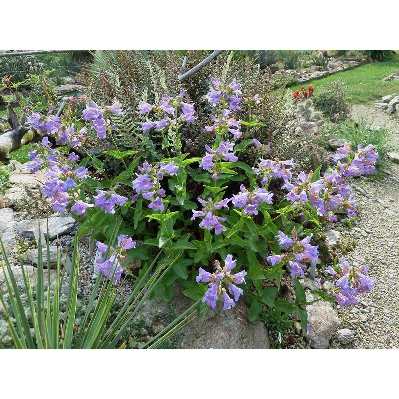 Penstemon serrulatus, Bartfaden im Yuccashop kaufen -