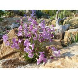 Penstemon laricifolius ssp. laricifolius, Bartfaden, Yuccashop -