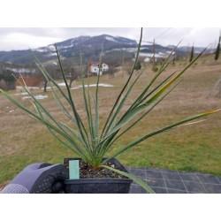 Yucca Hybride GG 090, Pflanzen für besondere Gärten, Yuccashop -