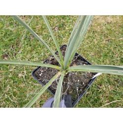Yucca Hybride GG 080, Pflanzen für besondere Gärten, Yuccashop -