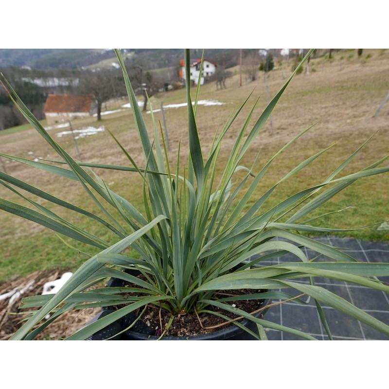 Yucca Hybride GG 052, Pflanzen für besondere Gärten, Yuccashop -