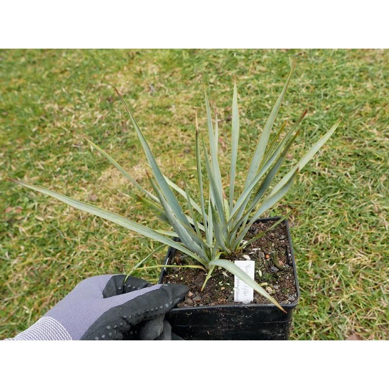 Yucca Hybride GG 045, Pflanzen für besondere Gärten, Yuccashop -
