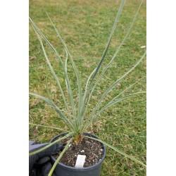 Yucca Hybride GG 027, Pflanzen für besondere Gärten, Yuccashop -