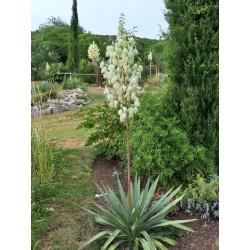 Yucca Hybride GG 012, Pflanzen für besondere Gärten, Yuccashop -