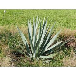Yucca Hybride GG 094, Pflanzen für besondere Gärten, Yuccashop -