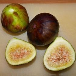 Ficus carica ''Keller 2'', Fruchtgehölze im Yuccashop kaufen -