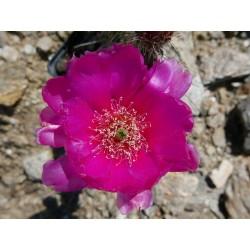 Opuntia polyacantha var. hystricina DJF 1138,im Yuccashop kaufen -