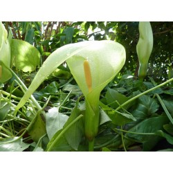 Arum italicum, Aronstab,Geophyten im Yuccashop kaufen -