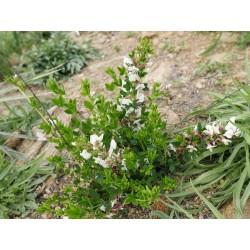 Chamaecytisus purpureus f. albus, Gehölze im Yuccashop kaufen -