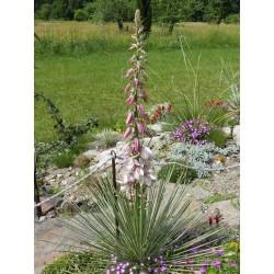 Yucca baileyi ssp. intermedia LZ 2085, Yucca Arten im Yuccashop -