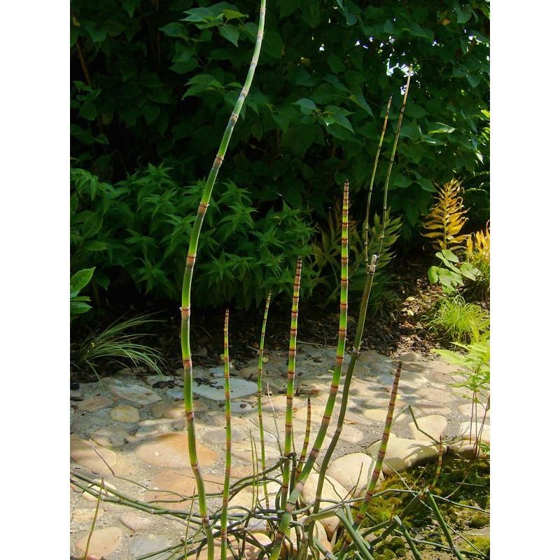 Equisetum hyemale, Schachtelhalm im Yuccashop kaufen -