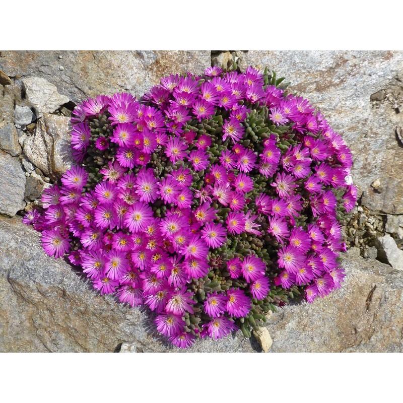 Delosperma luckhoffii 'Radieschen', Mittagsblumen vom Yuccashop -