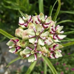 Asclepias asperula [Cache Co.], Stauden vom Yuccashop -