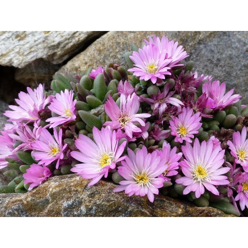 Delosperma luckhoffii 'Großblumige', Mittagsblumen vom Yuccashop -