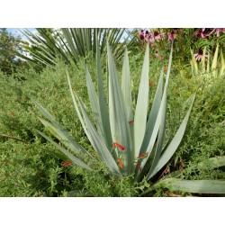 Yucca pallida, Wildart, Bleiche Palmlilie im Yuccashop kaufen -