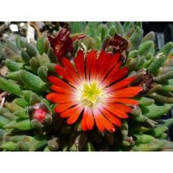 Delosperma ''Lucius'', Zwergige Mittagsblumen vom Yuccashop -