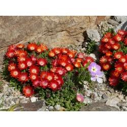 Delosperma ''Lucilla'', Zwergige Mittagsblumen vom Yuccashop -