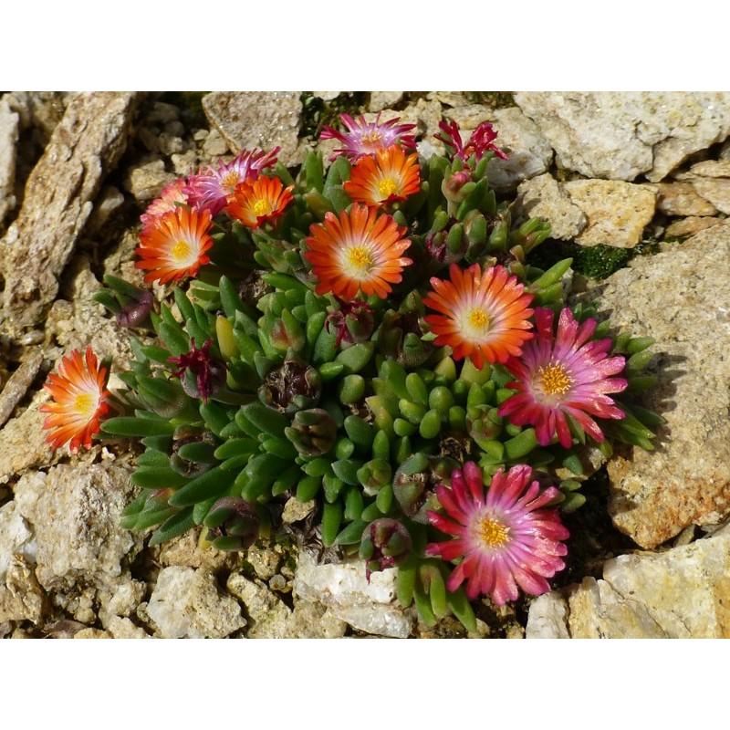 Delosperma 'Lucia', Zwergige Mittagsblume, im Yuccashop -