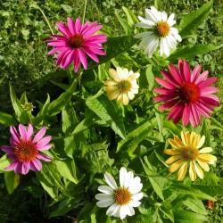 Scheinsonnenhut, 'Cheyenne Spirit', Echinacea, Yuccashop, kaufen, winterhart, Bienen, Bienenweide, Insekten, Staude -