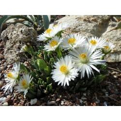 Bergeranthus jamesii alba, weiß, Aizoaceae im Yuccashop kaufen -