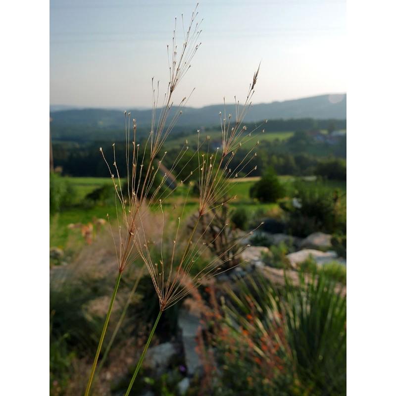 Chrysopogon gryllus, Goldbart, Gräser, im Yuccashop kaufen -