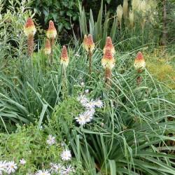 Kniphofia caulescens, Stämmchen-Fackellilie, im Yuccashop kaufen -