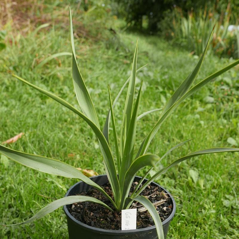 Yucca Hybride GG 116, Pflanzen für besondere Gärten, Yuccashop -