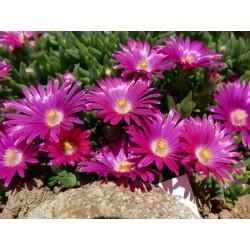 Delosperma ''Lila Graf'', Mittagsblumen vom Yuccashop kaufen -