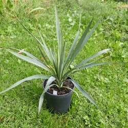 Yucca Hybride GG 114, Pflanzen für besondere Gärten, Yuccashop -