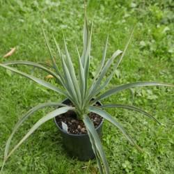 Yucca Hybride GG 112, Pflanzen für besondere Gärten, Yuccashop -