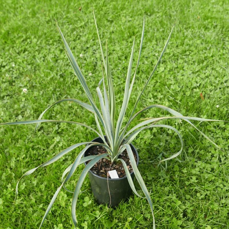 Yucca Hybride GG 111, Yucca pallida x elata, Yuccashop -