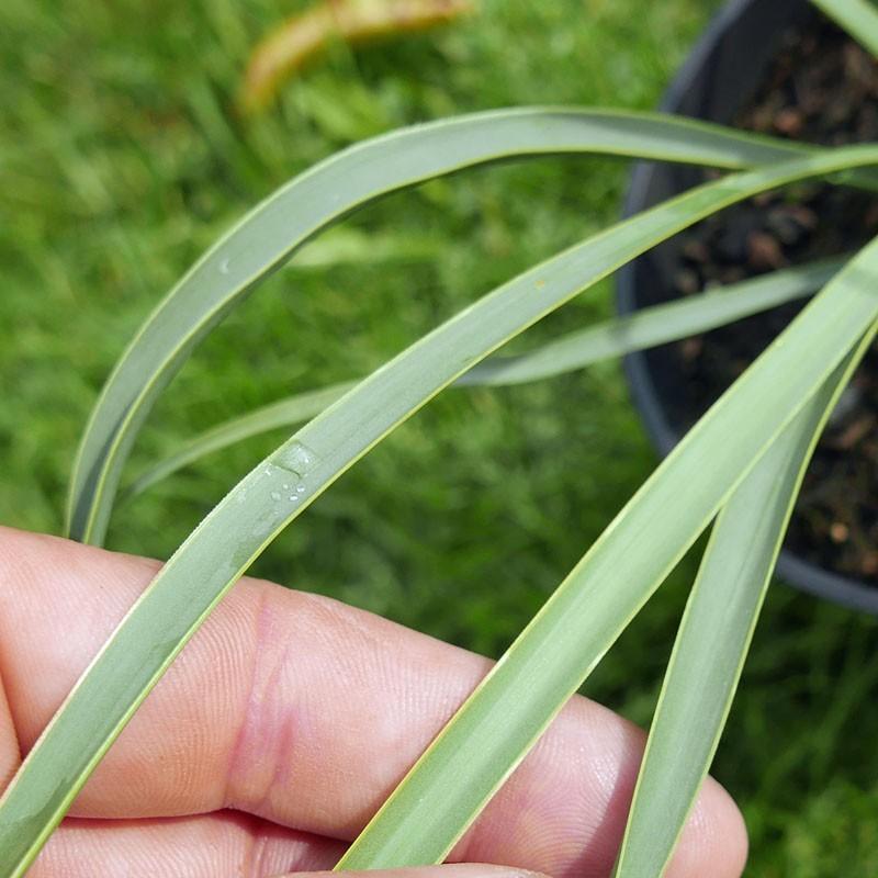 Yucca Hybride GG 107, Pflanzen für besondere Gärten, Yuccashop -