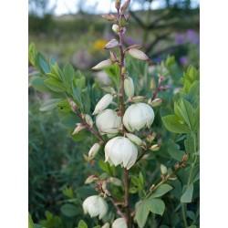 Yucca Hybride GG 098, Pflanzen für besondere Gärten, Yuccashop -