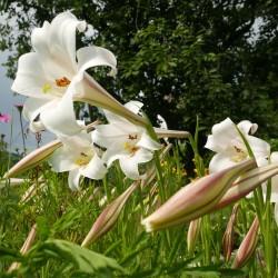 Lilium formosanum, Lilien im Yuccashop kaufen -