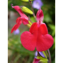 Salvia 'Royal Bumble', Gehölze vom Yuccashop -
