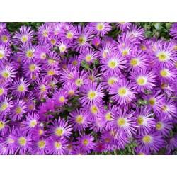 Delosperma lavisiae, Letseng, Mittagsblume, im Yuccashop -