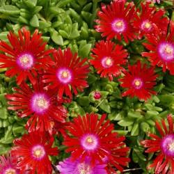 Delosperma ''Etsebetor'', Mittagsblumen im Yuccashop kaufen -