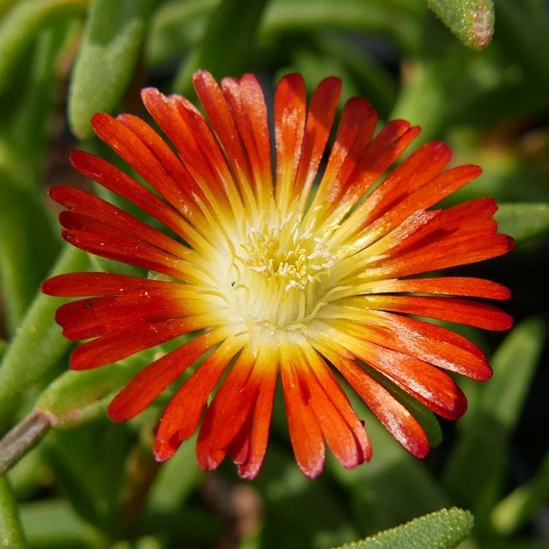Delosperma ''Ring of Fire'', Mittagsblumen im Yuccashop kaufen -