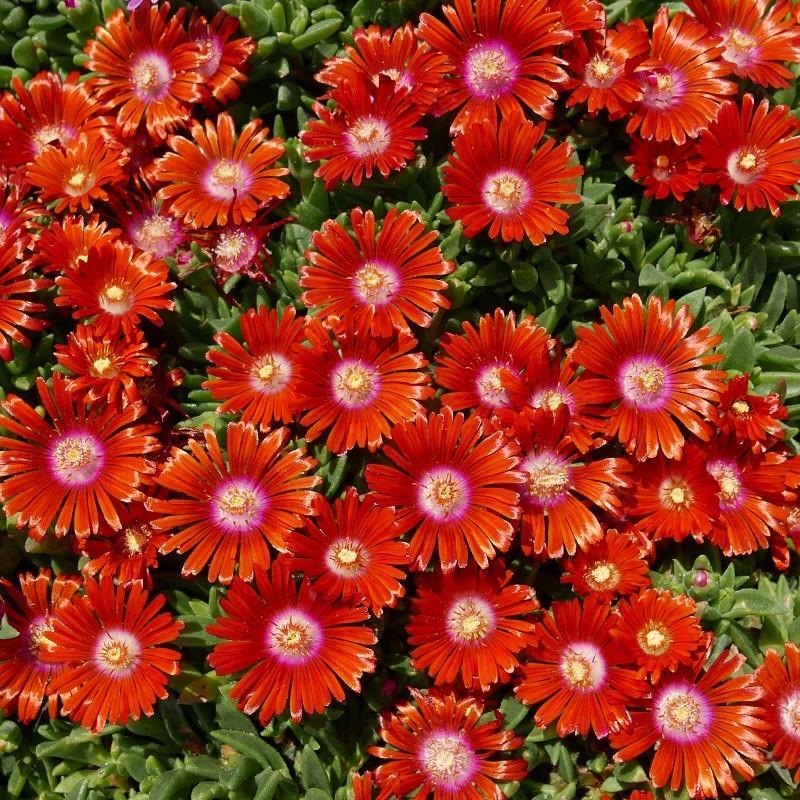 Delosperma ''Torrun'', Mittagsblumen vom Yuccashop kaufen -