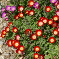 Delosperma ''Eyes of Medusa'', Mittagsblumen vom Yuccashop -